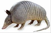 get rid of armadillos - removal service in Houston, Austin, Dallas, Fort Worth