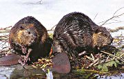 beaver removal - beaver control in Houston, Austin, Dallas, Fort Worth