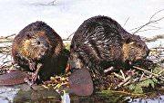 beaver removal - beaver control in Houston, Austin, Dallas, Fort Worth