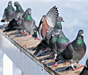bird removal - pigeon removal service in Houston, Austin, Dallas & Fort Worth
