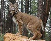 predator control - bobcat