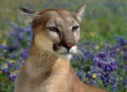 predator control - cougar