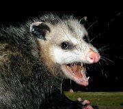 opossum removal - getting rid of possum