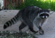Raccoon removal in Houston, Austin, Dallas and Fort Worth