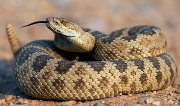 houston animal removal service - rattlesnake wildlife animal control