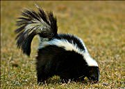 skunk removal service in Houston, Austin, Dallas, Fort Worth