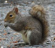 squirrel removal in Houston, Austin, Dallas & Fort Worth