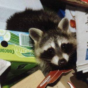 houston wild animal removal service - raccoon