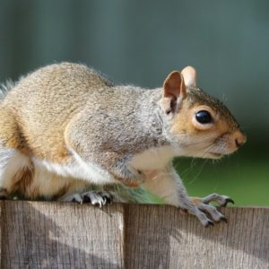 houston wildlife removal service - squirrel